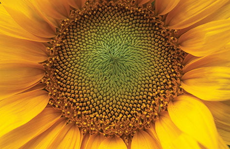 Sunflower474x306