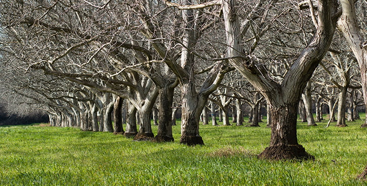 Walnut orchards at Andersen & Sons